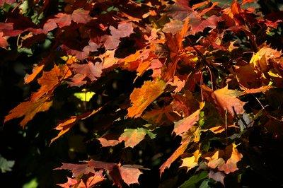 Orange Leaves 1575