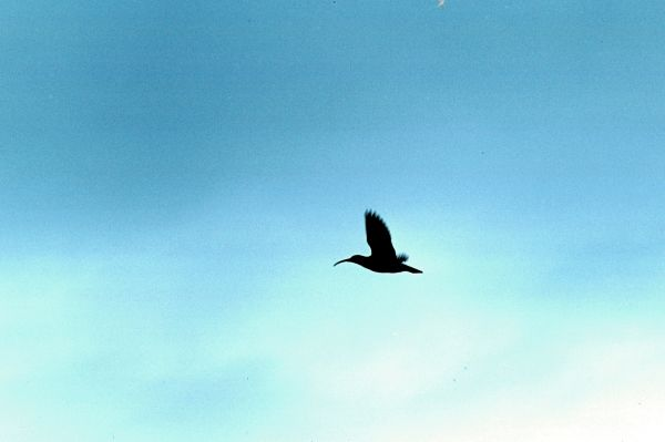 A Whimbrel in flight