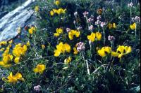 Bird's-foot-trefoil growing by a rock