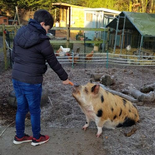 Boy feeding pig