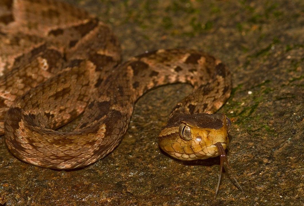 Serpiente terciopelo mirando a la cámara con la lengua fuera.