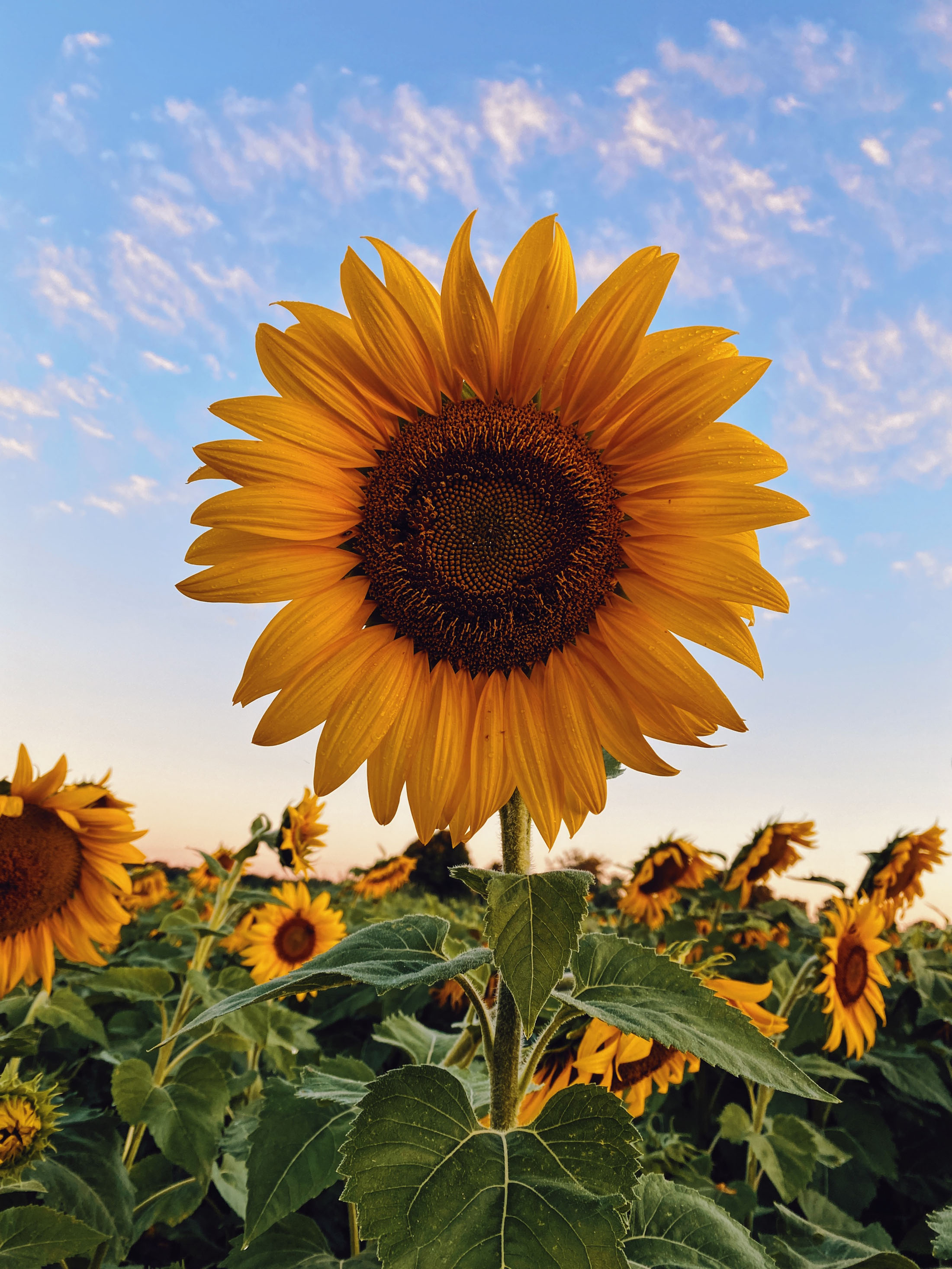 Sunflower in a field of flowers on a sunny day