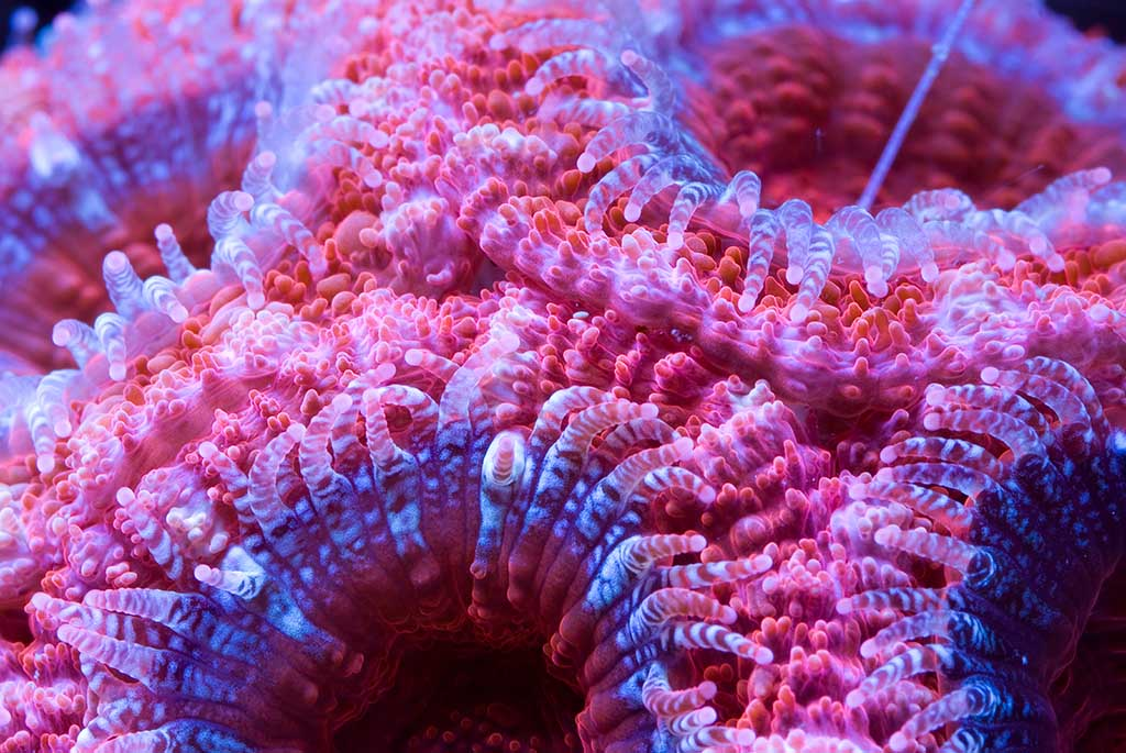 A cluster of brightly colored Acanthastrea coral also known as Pineapple coral, Artichoke coral, Starry cup coral.
