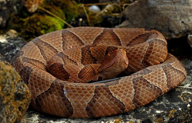 Serpiente cabeza de cobre enrollada.