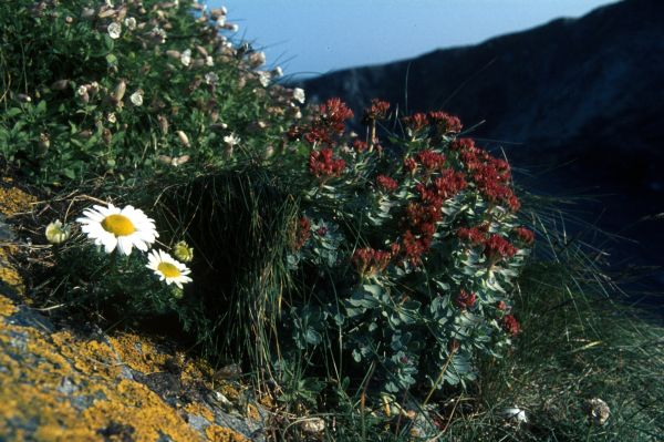 Roseroot with campion & mayweed