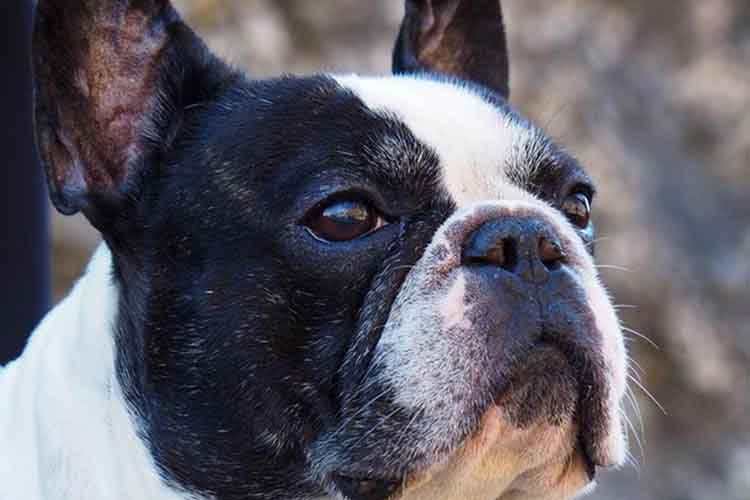 An image of a pied French Bulldog with a flat snout