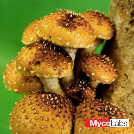 Pholiota adiposa | MycoLabs