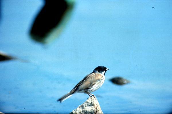 A Reed Bunting perches on a small stone