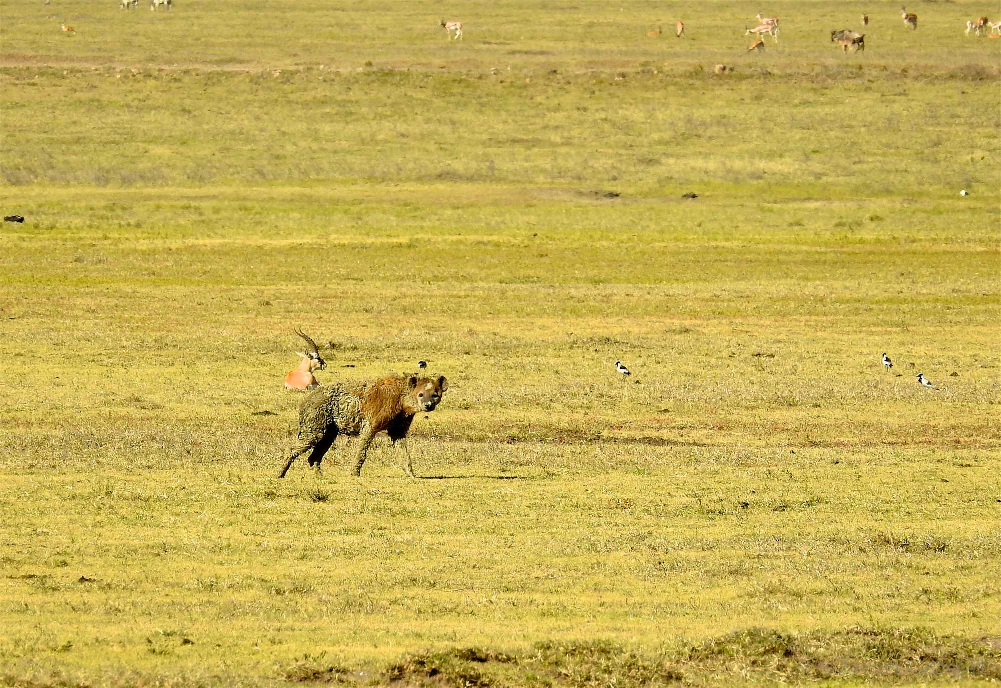 Tanzania Ngorongoro Crater Hyena