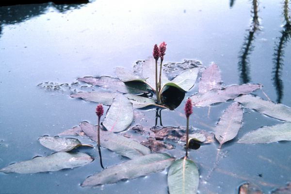 Four stalks emerge from the water
