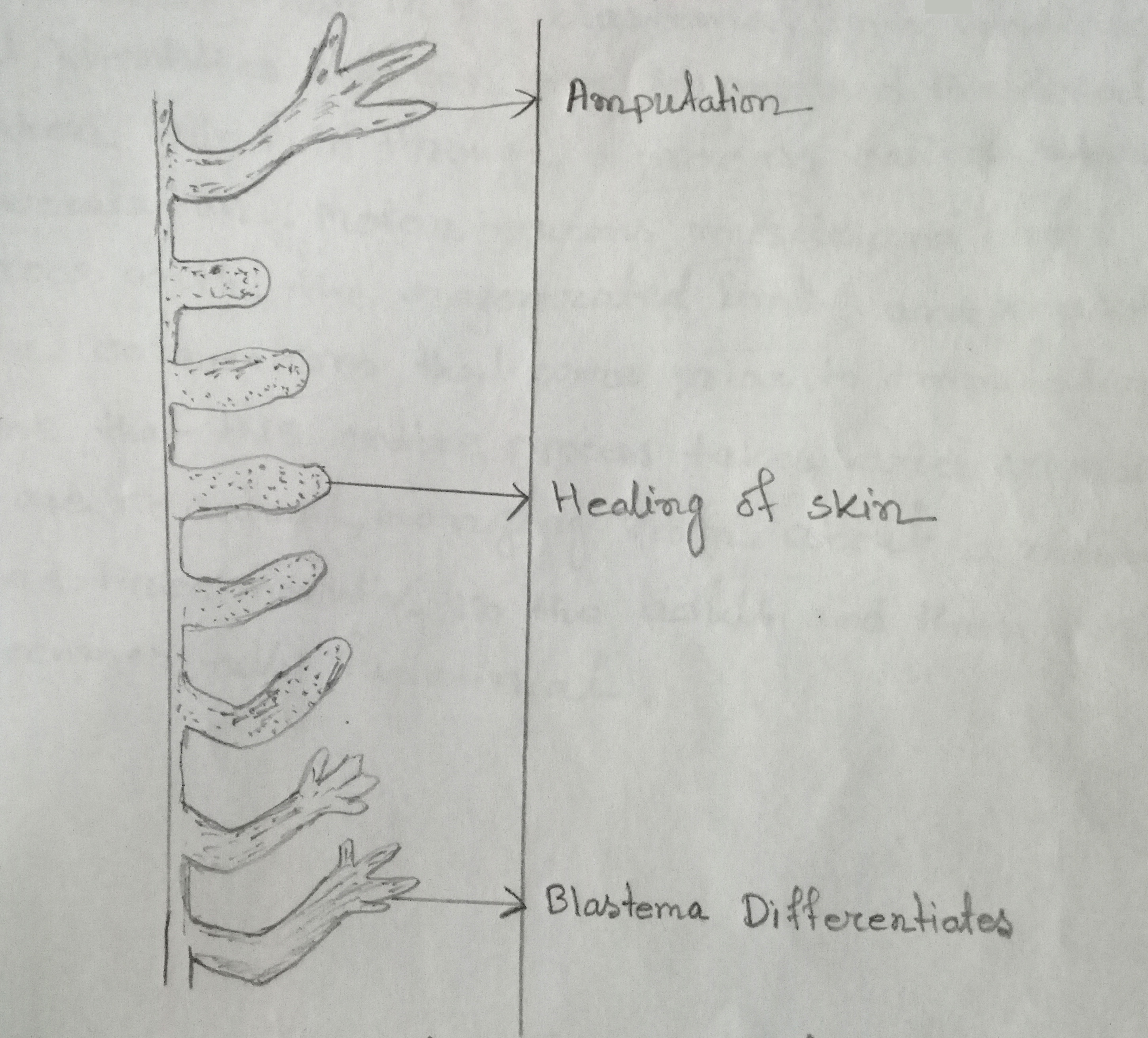 Different stages of regeneration of salamander limb