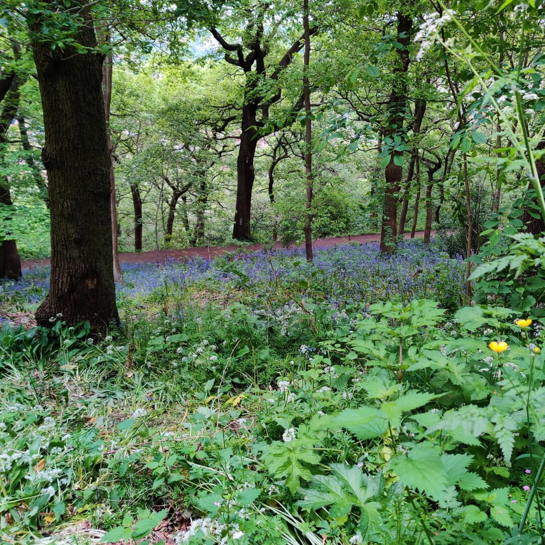 Woodhouse Ridge bluebells