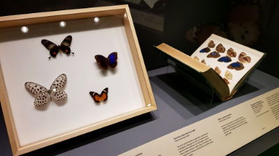 Butterflies are on display in a box, accompanied by a book showing illustrations of similar butterflies.