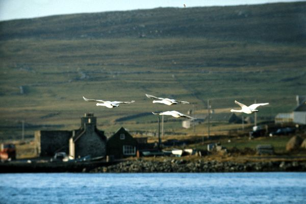 Four Whooper Swans fly by Uyeasound