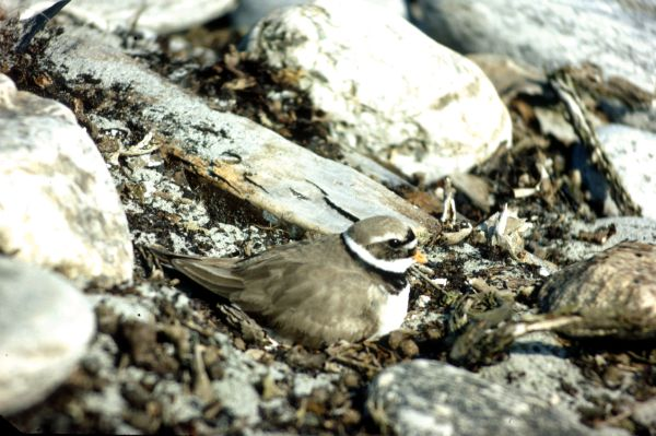 Ringed Plover sitting down on a nest