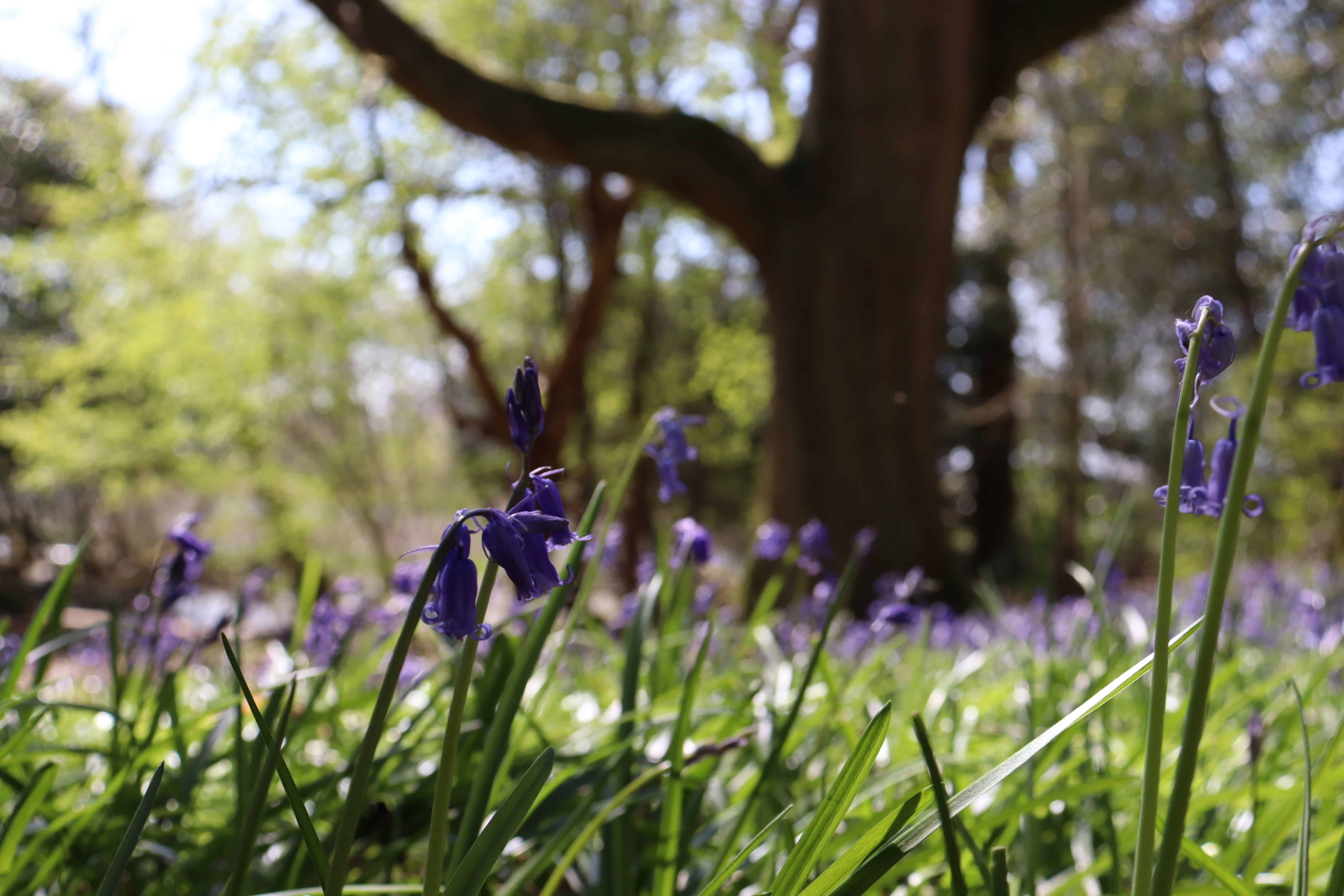 A close up shot of some bluebells with a field of bluebells in the out of focus background.