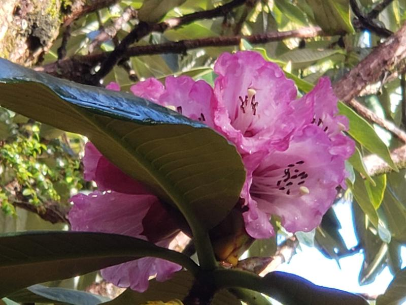 Some of the first blooms on the giant rhododendrons in Pukeiti Gardens