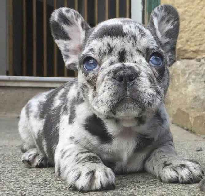 Image of a tiny merle french bulldog puppy