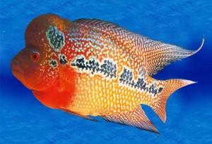 Flower Horn Fish in General