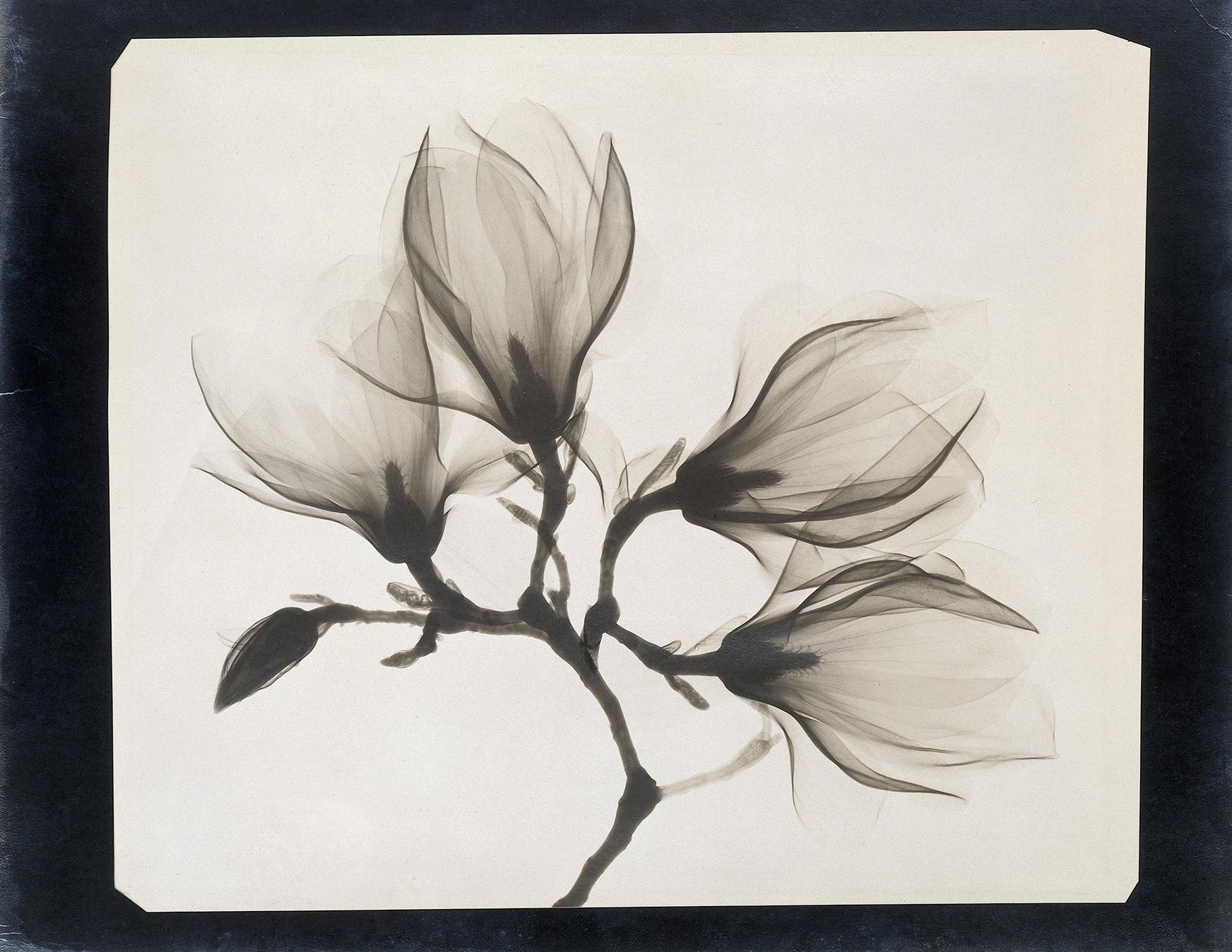 Anoniem, Tak met 4 magnolia's. 1910-1925. Röntgenfoto. Rijksmuseum Amsterdam