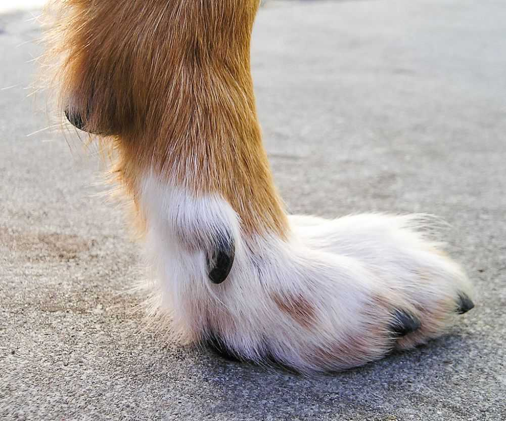 An extra toe, also called a dewclaw. Credit to Elf @ Wikimedia Commons. Licensed under CC BY-SA 3.0.