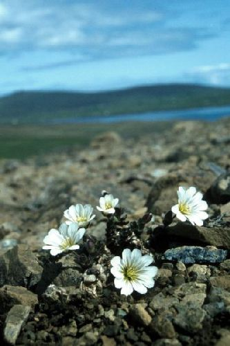 Shetland Mouse-ear growing on stony ground