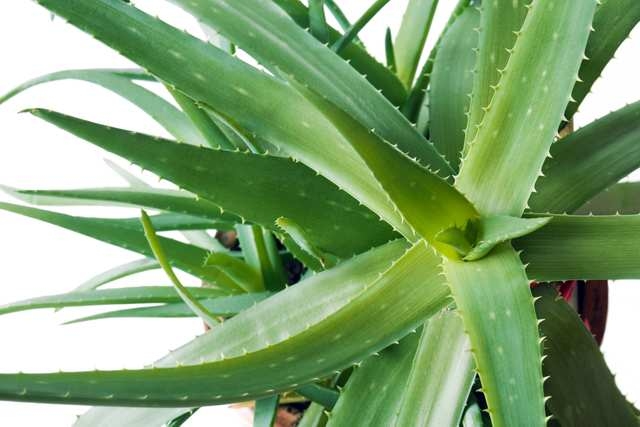 Aloe Vera - Exceptional properties for your skin, guts and more.