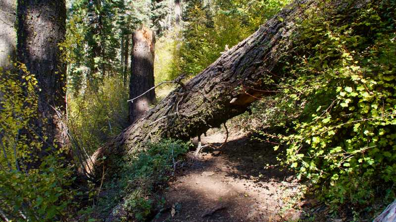 A large tree lies across the trail