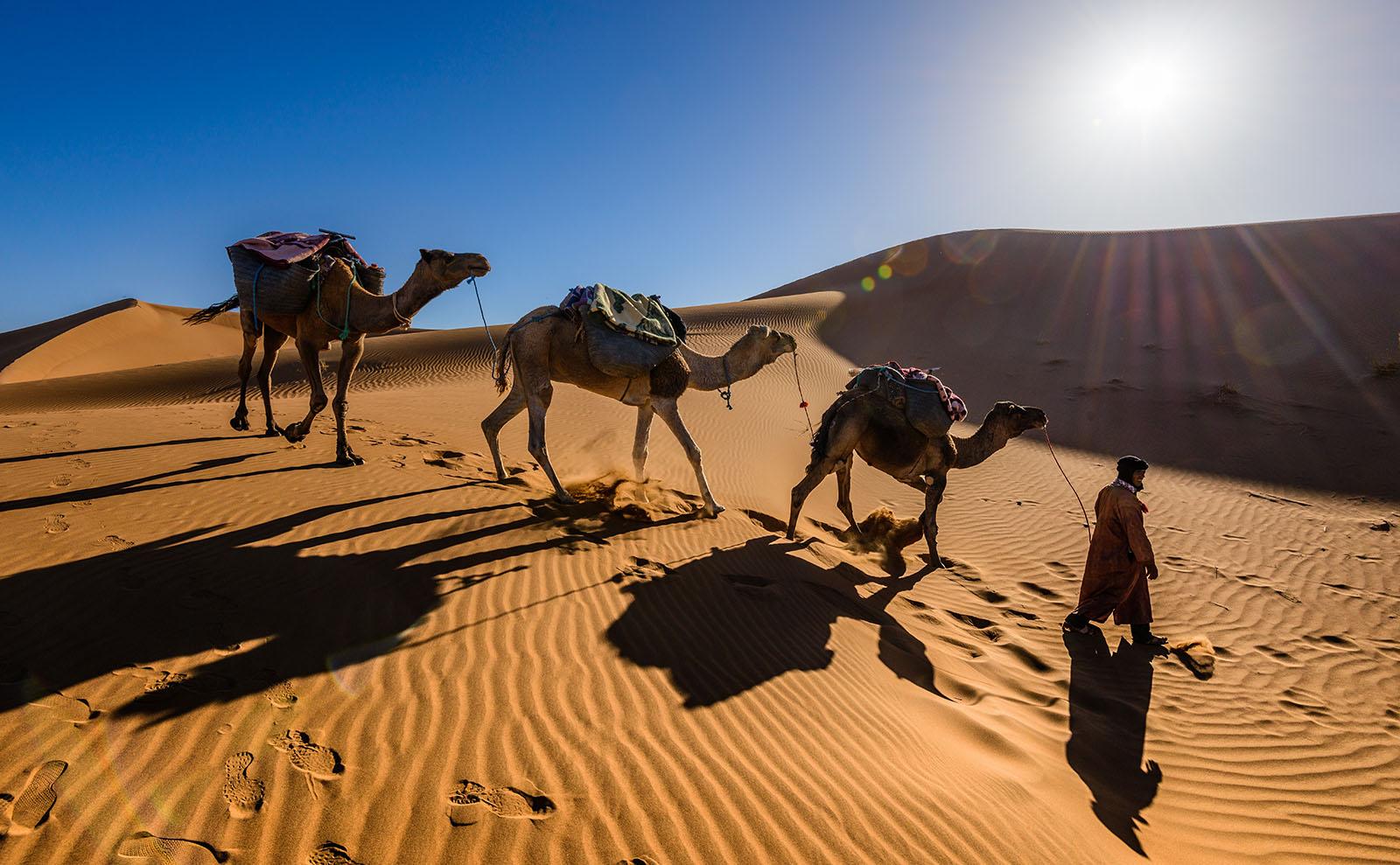 camels walking across the sahara desert