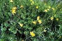 A clump of St.John's-wort