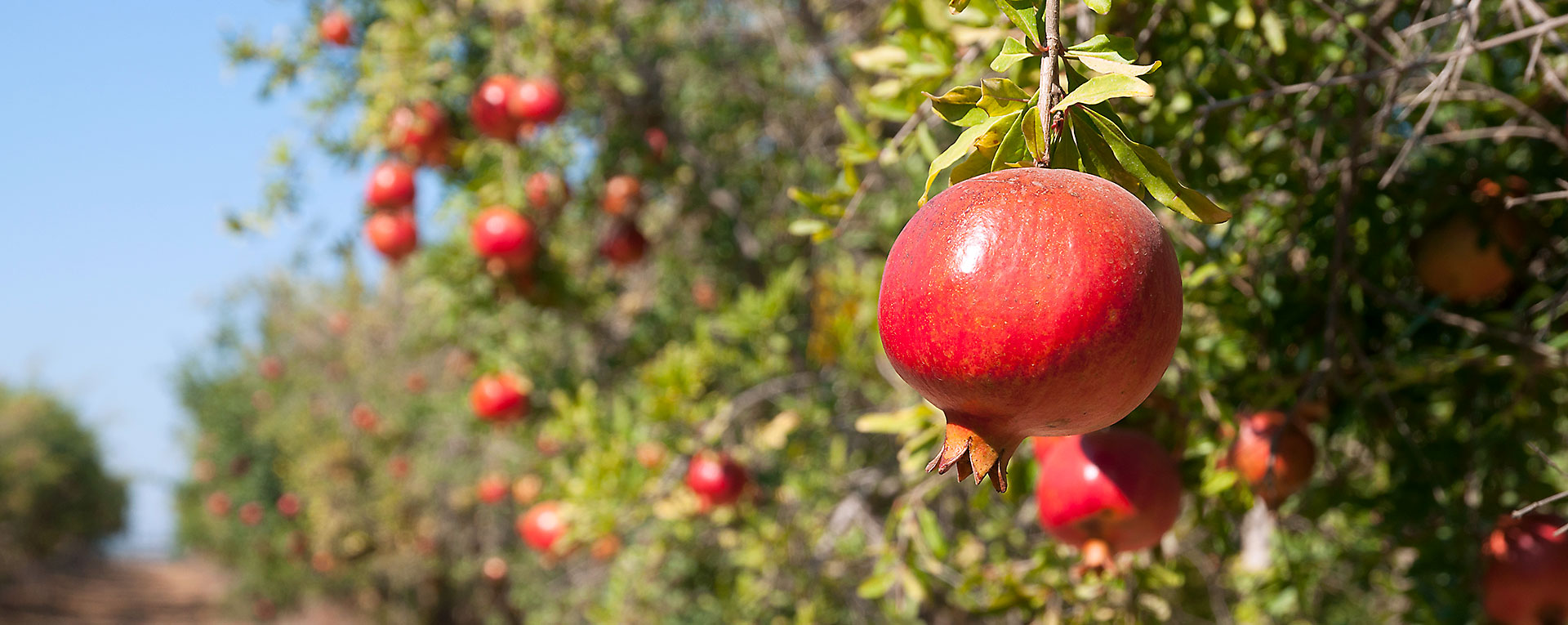 A row of pomegranate trees at Wonderful Orchards.