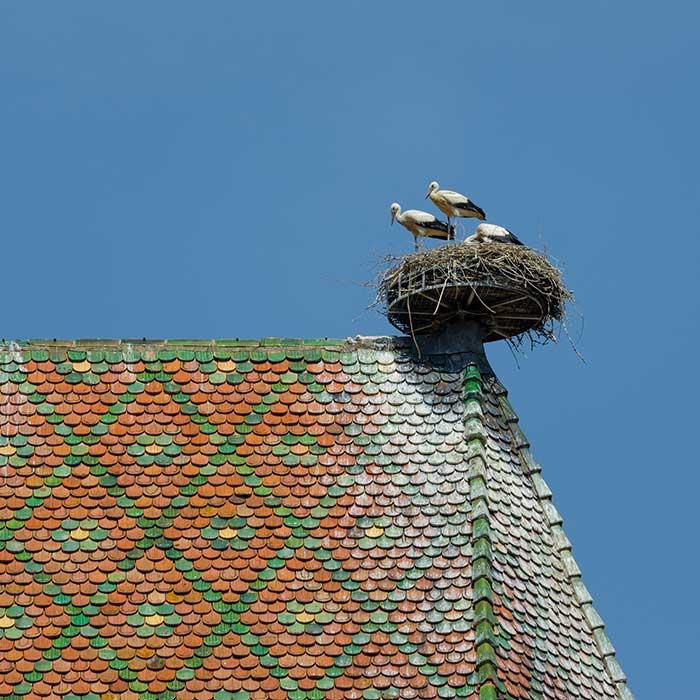 Storks nesting in Colmar, Alsace, France