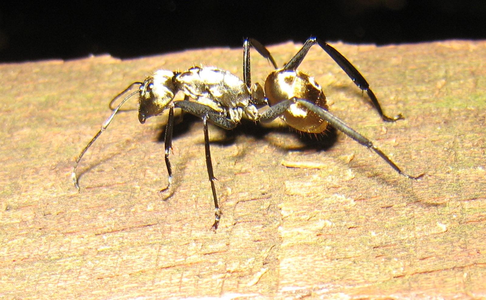 a shiny gold carpenter ant on a log