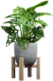 Picture of Monkey Mask Plant (Monstera adansonii) in a grey concrete pot on a wooden plant stand