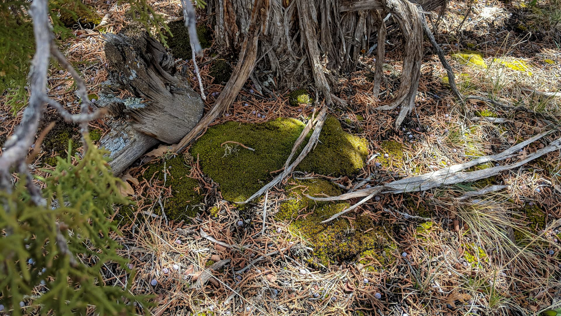 Moss grows at the base of a juniper tree.