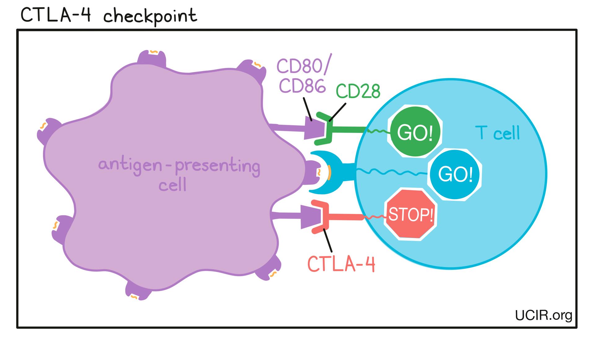 CTLA-4 checkpoint illustration