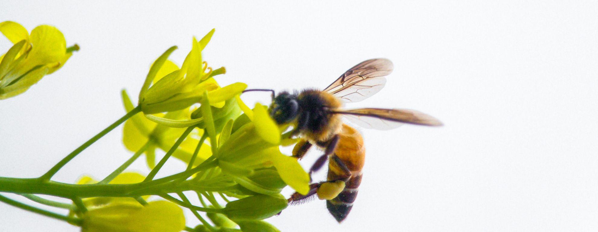 Polen de abeja: qué es, propiedades y beneficios para la salud - Featured image