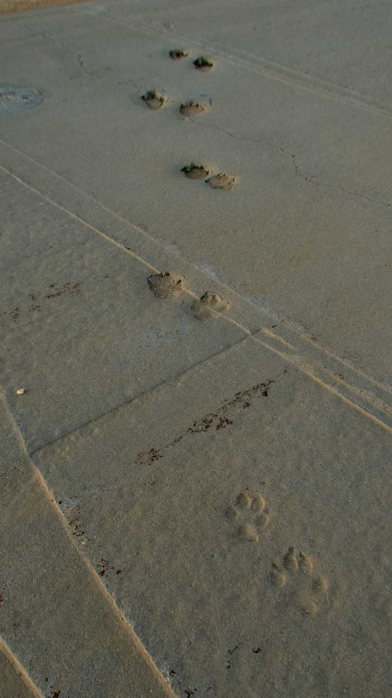 Coyote tracks embedded in concrete