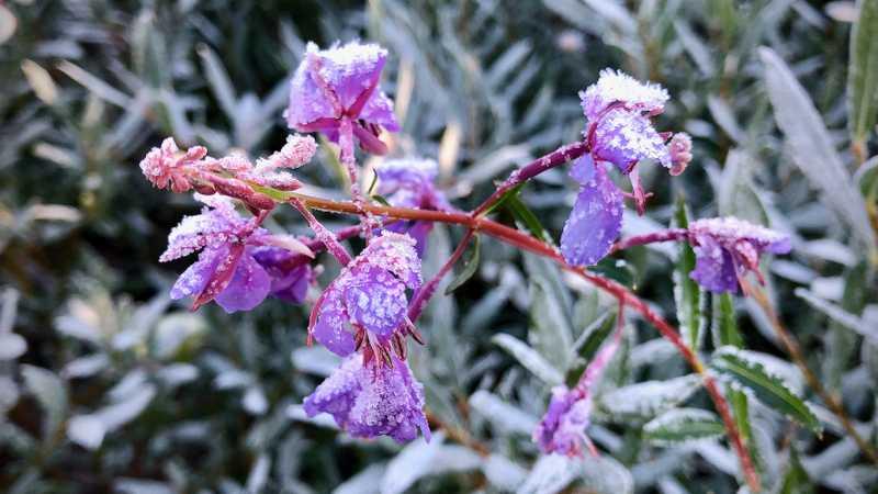 Purple mountain heath