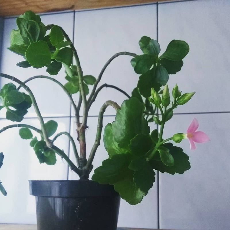 Matilda, a planta