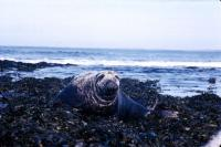 A Grey Seal Bull.