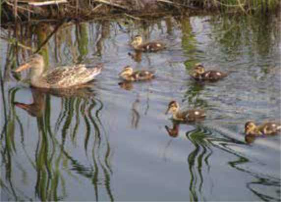 Northern shoveler hen and her new ducklings out for a swim