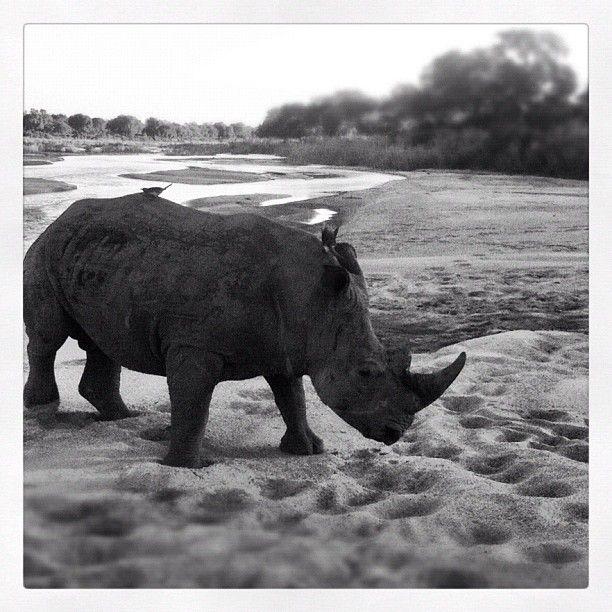 A real rhino