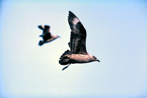 Two Great Skuas in flight