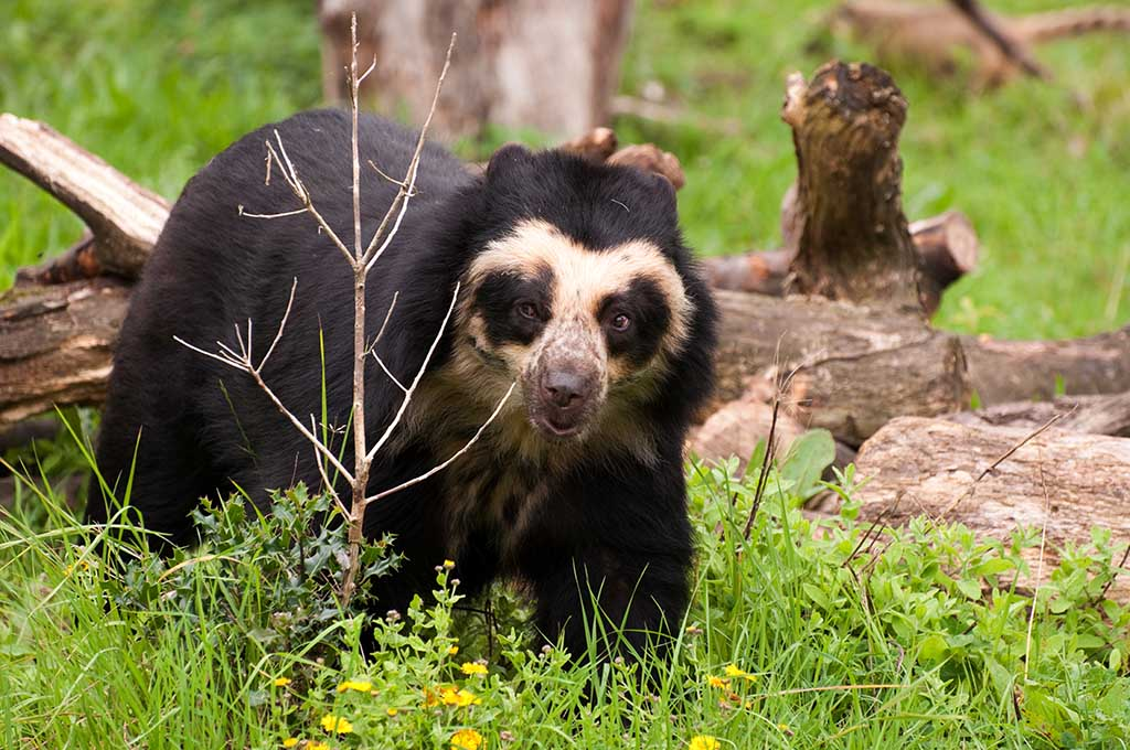 Spectacled bear, also known as the Andean bear