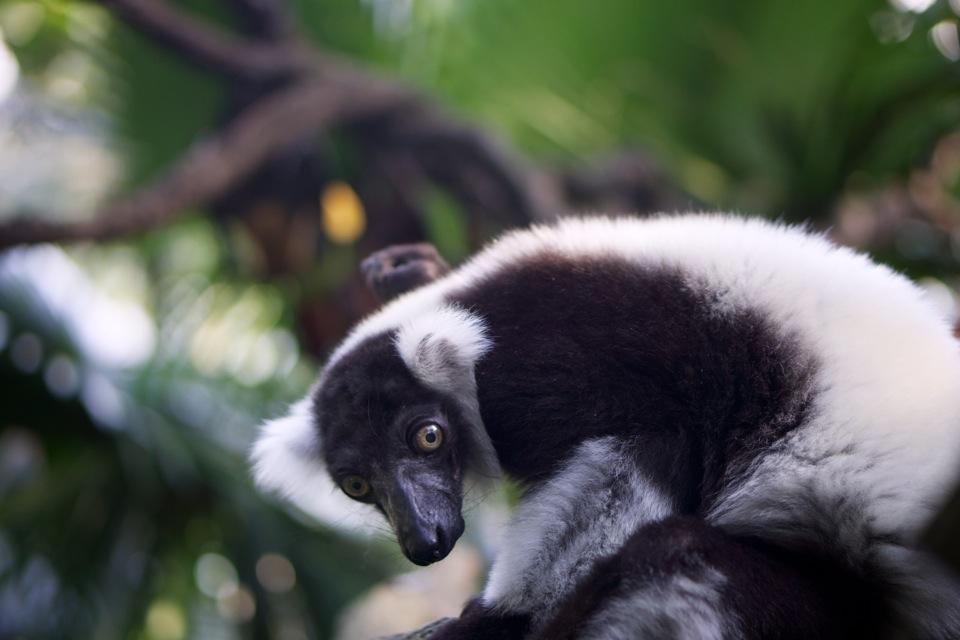 Singapore Zoo lemur