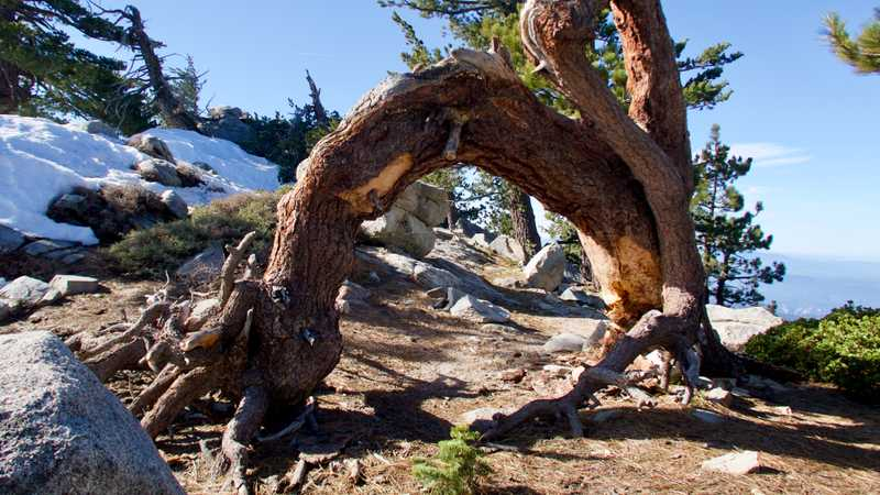 Tree bent in an arch