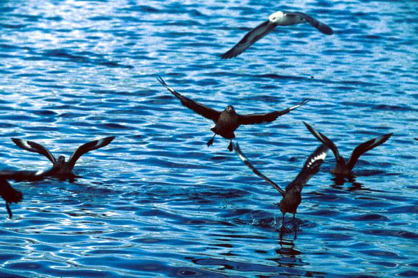 Great Skuas take flight