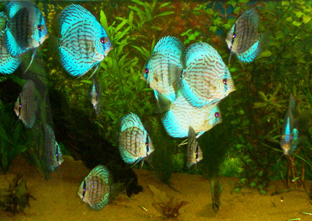Popular Discus Fish Types