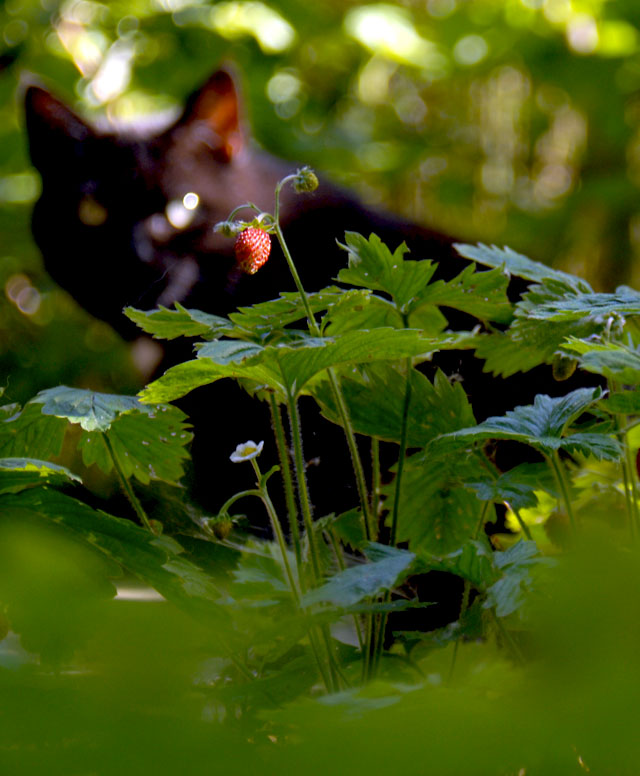 Babajagas - im Garten am Rand des Nationalpark Donau-Auen. Erdbeeren und Katze.